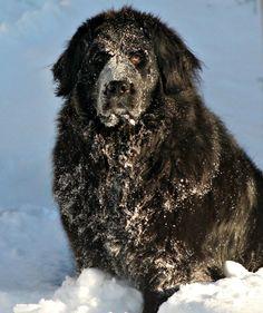 Newfoundland dogs love the snow!