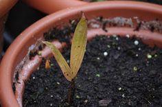 Mr. Greens Welt: Salakpalme zeigt seine ersten Blätter