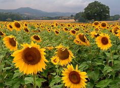 Girasoli/sunflowers in Avellino