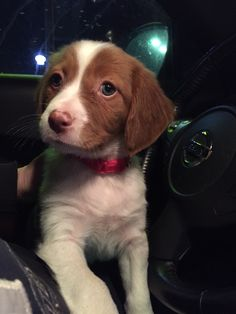 6 week old Brittany named Willow