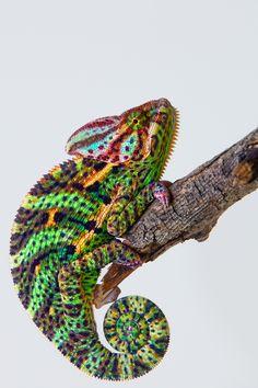 Yemen Chameleon by Arturas Kerdokas