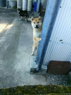 Inexpensive Dog Boarding Near Me Japanese Dog Breeds, Japanese Dogs, Cute Baby Animals, Animals And Pets, Funny Animals, Akita Puppies, Dogs And Puppies, Shiba Inu Doge, Pet Dogs