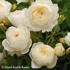 Pflanzen-Kölle Englische Rose 'Claire Austin' (Ausprior) David Austin.  Weißblühende Besonderheit unter den Englischen Rosen mit beeindruckendem Duft und üppig gefüllten Blüten.