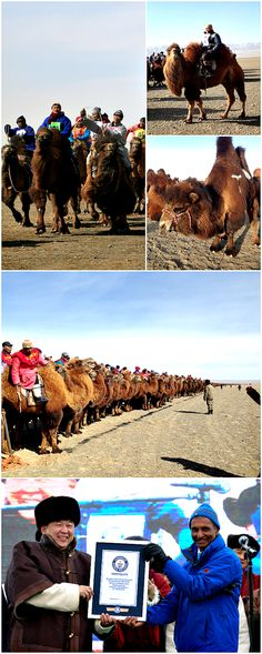 Thousands came together for the world's Largest camel race. The people of Mongolia participated in the annual festival in order to encourage re-population of the dying species! Such wonderful efforts for a title. #animals #camel #desert #cool #facts #DYK #kids #animal #Mongolia #funfacts