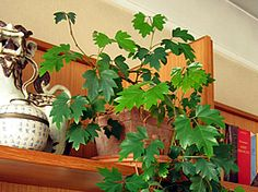 Cissus rhombifolia - Cipó-uva, Anil-trepador - trepadeira perene, de textura semi-herbácea, própria para a decoração de ambientes internos ou semi-sombreados. Há duas principais formas de conduzi-la: como trepadeira, oferecendo-lhe suporte para que se fixe com suas gavinhas, ou como planta pendente, plantada em vasos ou cestas suspensas. Planta típica de clima subtropical, viceja melhor em locais de verão não muito quentes.