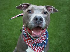 IN MEMORY OF LOVELY BOY BLUE - RETURNED TWICE BY HIS OWNER! - KILLED 8-26-2017 - Blue (A0969462) was surrendered to the Manhattan Center by his owner on 2014 and RTO day later. Second time he RETURNED as a STRAY.  ♥ BLUE was just PURE LOVE.  ♥ Now he be running and playing on the other side of the rainbow bridge. ♥ http://nycdogs.urgentpodr.org/blue-a0969462/