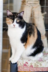 Sara is an adoptable Calico Cat in Saint Charles, MO. Sara is a 7 year old female calico. She loves looking out the window and just lounging around with her human companion.     http://www.petfinder.com/petdetail/19331884