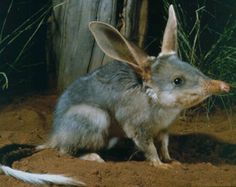 Bilby lives in Australia