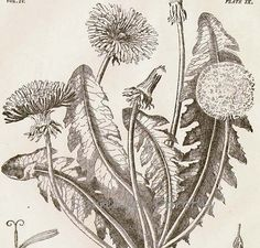 Dandelion Flower Plant Liontrodon Taraxacum 1892 Victorian Antique Botanical Herbalist Chart To Frame