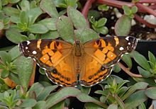 List of butterflies of North America (Nymphalidae) - Wikipedia, the free encyclopedia-American Lady