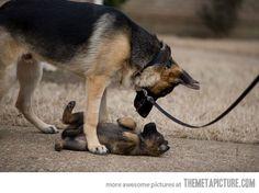 german shepherd - Pesquisa Google