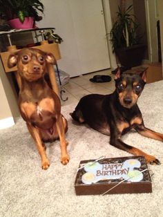 Dobie and Rico waiting for their brothers birthday cookie!