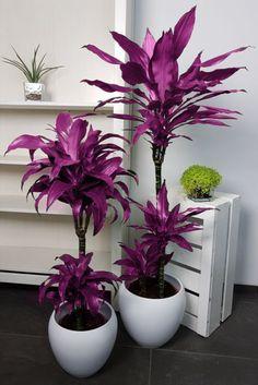 Kaweesakova dracena vhodná aj na pestovanie v interiéri Plants, Flora, Plant, Planting
