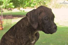 You'll love this Male Boxer puppy looking for a new home.