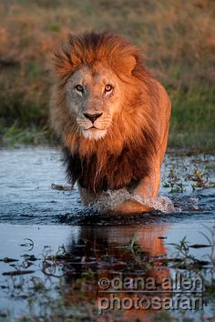 Male lion http://thewildanimalstore.com/category_jungle_animals/JUN_J0003_Male_Lion.htm