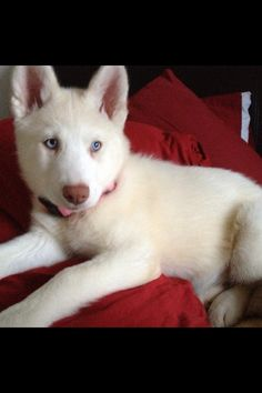 All white husky puppy Red And White Husky, White Husky Puppy, Cute Husky, Most Beautiful Dog Breeds, Beautiful Dogs, Animals Beautiful, Cute Animals, Puppies And Kitties, Cute Puppies