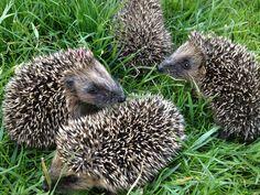 ★ Hedgehogs