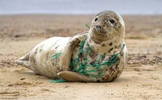 A Grey Seal at Horsey Beach in Norfolk England, tragically caught in a section of fishing net, an upsetting site that was reported to local animal welfare. Save Planet Earth, Save Our Earth, Our Planet, Save The Planet, Ocean Pollution, Plastic Pollution, Salve A Terra, Photo Animaliere, Save Our Oceans