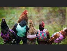 An egg-cellent fashion choice, I must say! In Cornwall, England, 25-year-old Nicola Congdon keeps her rescued chickens warm by dressing them up in knitted