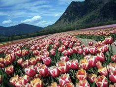 40 Acres of Tulips