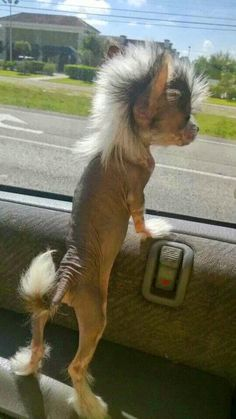 This dogs mohawk is awesome! Wonder what kind of dog this is. I want one. More…
