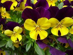 Flower (Yellow & Violet)