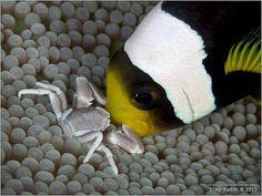 crab and clown fish