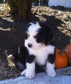 The Mix: Bernese Mountain Dog/Standard Poodle. I am not a lover of dogs but have to admit this is the cutest puppy ever