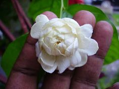 Sambac Jasmine;Jasminium Sambac;Grand Duke of Tuscany variety.Intense fragrance;can be used to create perfumes.Heat & drought tolerant.Roots easily from cuttings(particularly if knotty stem nodes ars included)Wonderful for a Florida Moon Garden.Grows well in the Deep South.