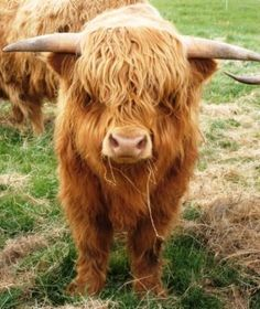 scottish highland...the most adorable cow