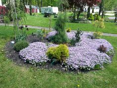 Conifers and phlox