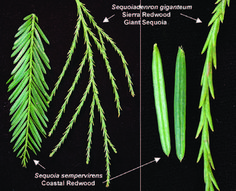 name your Giant! Landscaping Plants, Garden Plants, Sequoia Sempervirens, Trees To Plant, Plant Leaves, Sequoiadendron Giganteum, Giant Sequoia Trees, Tree Tat, Tree Identification
