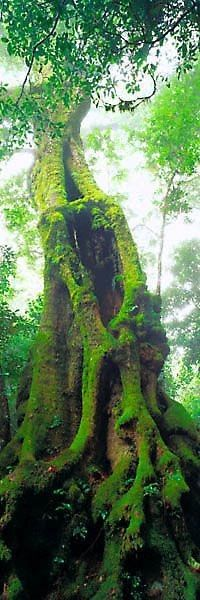 Timeless Forest - an old moss-covered tree. Foto Nature, All Nature, Nature Tree, Amazing Nature, Mother Earth, Mother Nature, Unique Trees, Old Trees, Tree Forest