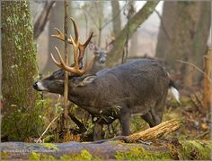 Buck rubbing his antlers, Cades Cove GSMNP.