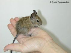 Degu (é um animal originário das planícies do Chile)