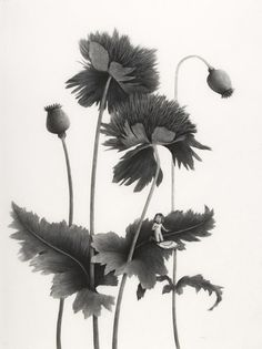 Sverre Malling · Many a blossom shall its leaves unfold · 2007 · 76 x 57 cm Classical Art, Botanical Drawings, Beautiful Sketches, Malling, Drawing People, Illustration, Drawings, Visual Artist, Beautiful Art