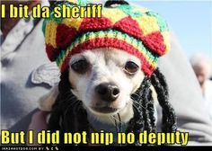 Chihuahua with dreadlocks. I bit da sheriff. but I did not nip no deputy Funny Animal Pictures, Funny Animals, Cute Animals, Animal Pics, Talking Animals, Funny Photos, Funny Dogs, Cute Dogs, Dog Anxiety