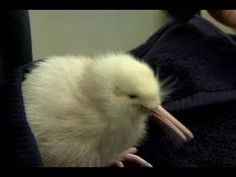 Rare White Kiwi Bird Makes Debut in New Zealand