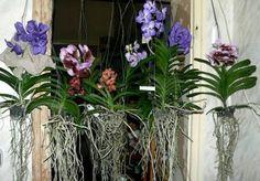 Dag 348/365 Waarom hebben orchideeën luchtwortels?