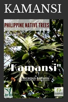 """KAMANSI (Artocarpus camansi) This fast-growing native has a lot of uses. """" I'ts cooked as a vegetable when young; ripe fruit produces nuts that looks like chestnuts; seeds boiled or roasted; similar taste to chestnut."""" (The Philippine Native Trees 101 Up Close And Personal, 2013) """"Protect our trees, our forests- our source of life!"""" #PhilippineNativeTrees #NativeTrees#Rainforestation #ForestProtection April 20, 2016 Forest Plants, Ripe Fruit, Ornamental Plants, April 20, Flowering Trees, Fast Growing, Growing Vegetables, Forests, Botany"""