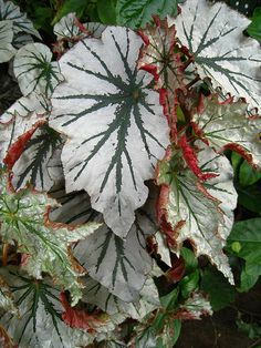 begonia by knotman, via Flickr