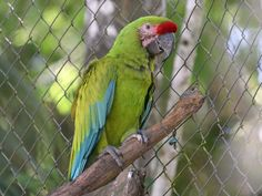 Macaw, Military Ara militaris Found: Mexico, Central America, South America