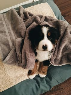 Bath time for @barkley.the.berner the Bernese mountain dog