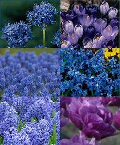 "Allium azureum: The Blue of the Heavens. ornflower-blue Majestic Lavender Crocus Mixture Muscari aucheri Blue Magic Scilla siberica Spring Beauty  Hyacinth Blue Jacket. 50 Peony Flowering Tulip Backpacker: Blue-purple. 20""."