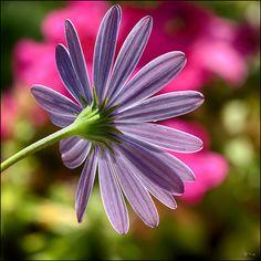 (1775) Flower
