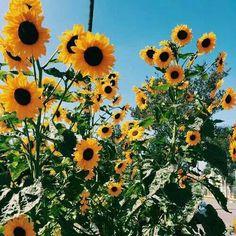 Sunflowers make me happy ((: ♡