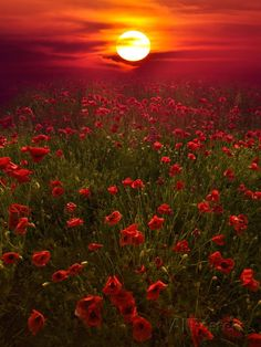10 Amazing landscape pictures of flower field - Newspandas Beautiful World, Beautiful Places, Beautiful Beautiful, Beautiful Morning, All Nature, Amazing Nature, Red Poppies, Red Flowers, Flowers Nature
