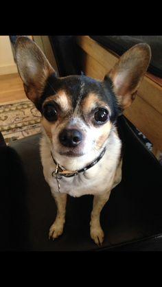Spike Chihuahua | Pawshake Rødovre