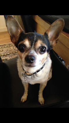 Spike Chihuahua   Pawshake Rødovre