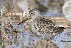 La becasina piquicorta (Limnodromus griseus) es un ave limícola playera migratoria, de la familia Scolopacidae.